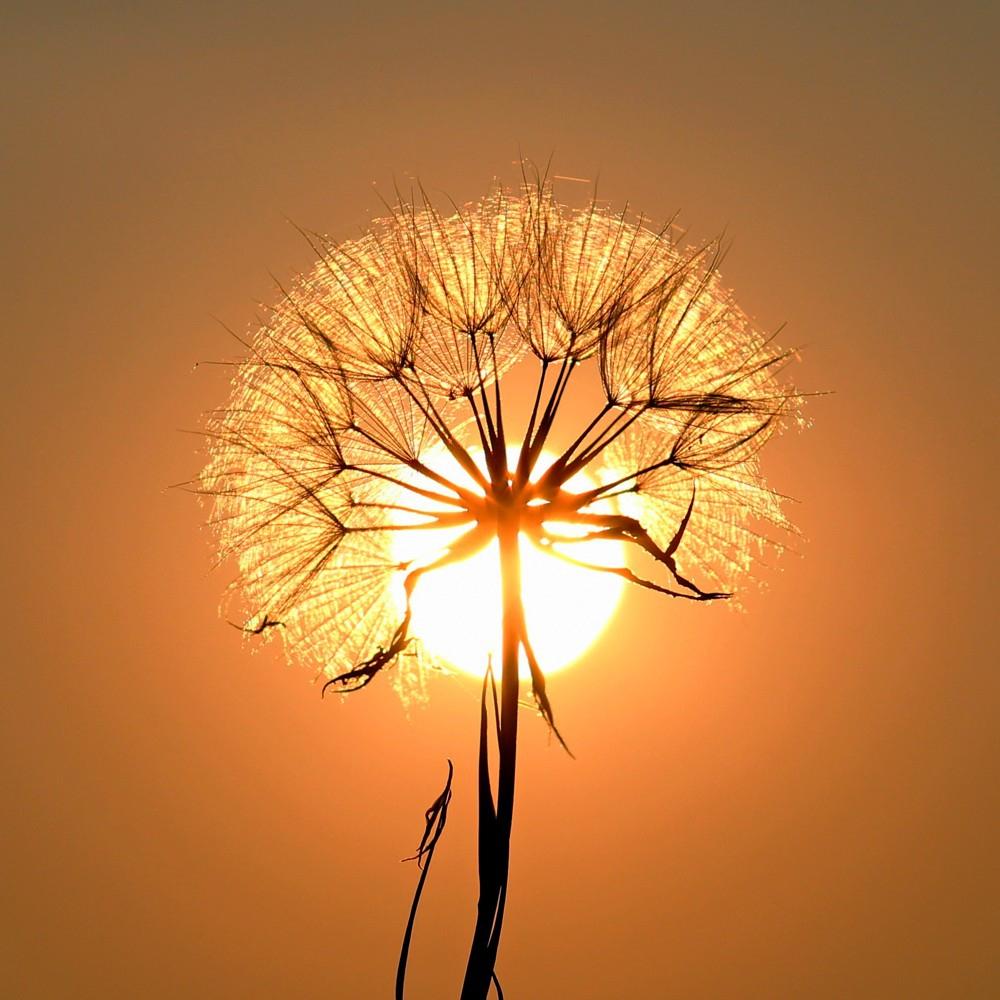 Obraz Pampeliška při západu slunce, 50x50 cm