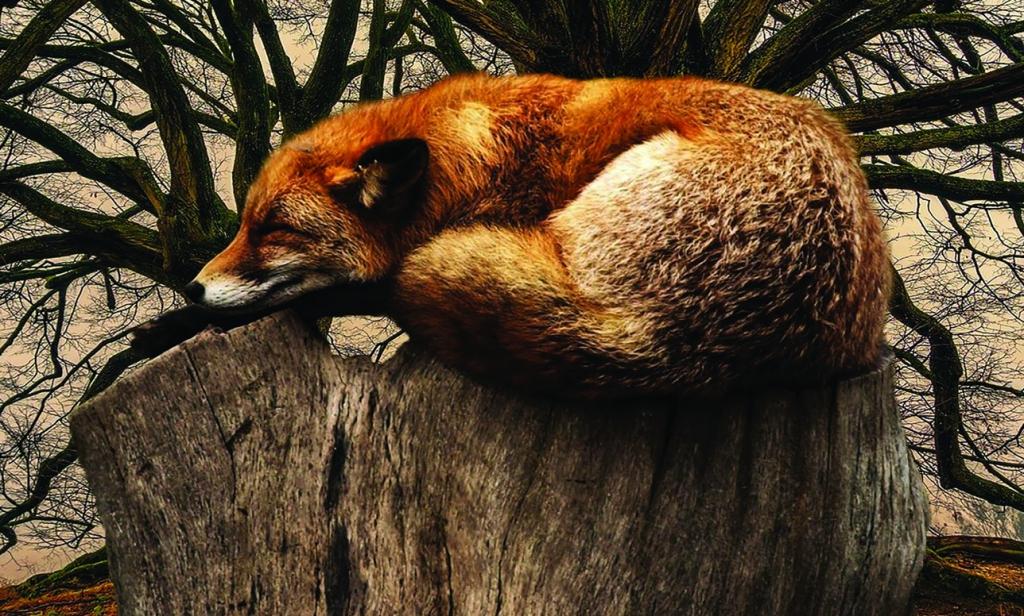 Obraz Spící liška, 120x80 cm